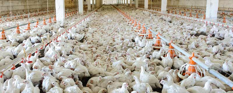 chicken factory farm